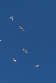 White doves fly away homeward after being released